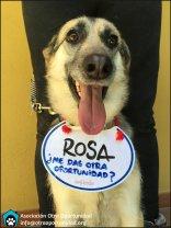 Rosa en adopción
