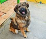 Cruce pastor del caucaso en adopcion granada