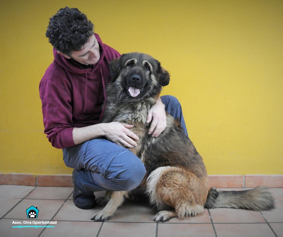 Cruce pastor del caucaso en adopcion